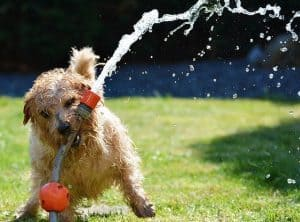 dog watering lawn