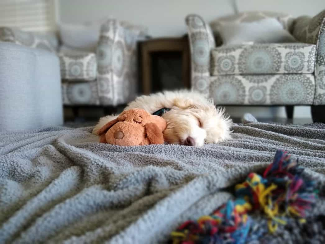 Goldendoodles puppy sleeping